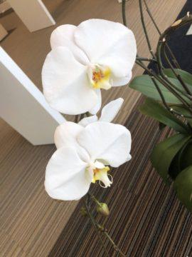 胡蝶蘭が咲きました【BRANCH大津京店】(画像)